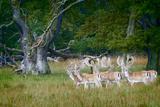 Fallow Deer. Dyrehaven. Denmark Photographic Print by Tom Norring