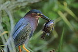 Green Heron with Fish, Florida, Usa Photographic Print by Tim Fitzharris