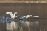 Tundra Swans Taking Flight Impressão fotográfica por Ken Archer