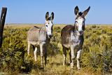 New Mexico, Bisti De-Na-Zin Wilderness, Two Donkeys Photographic Print by Bernard Friel