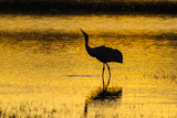 New Mexico, Bosque Del Apache National Wildlife Refuge. Sandhill Crane at Sunset Photographic Print by Jaynes Gallery