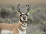 Pronghorn Buck Showing Territorial Behavior, Grand Tetons National Park, Wyoming Photographic Print by Maresa Pryor