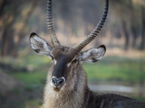 Africa, Zambia. Portrait of Waterbuck Photographic Print by Jaynes Gallery