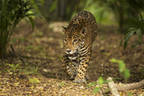 Mexico, Panthera Onca, Jaguar Walking in Forest Photographic Print by David Slater