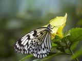 Large Tree Nymph Butterfly Drinking from a Flower, Philippines Photographic Print by Tim Fitzharris