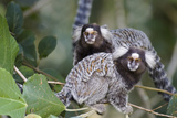 Brazil, Sao Paulo, Common Marmosets in the Trees Photographic Print by Ellen Goff