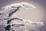 Rime Ice on Pine Tree, San Bernardino National Forest, California, Usa Photographic Print by Russ Bishop
