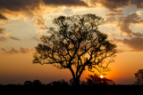 Brazil, Mato Grosso, the Pantanal. Pink Ipe Tree at Sunset Photographic Print by Ellen Goff