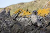 South Georgia Island, Ocean Harbor. Fur Seal Pup on Rocks Photographic Print by Jaynes Gallery