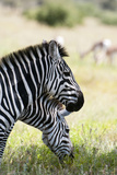 Common Zebra, Samburu, Kenya Photographic Print by Sergio Pitamitz