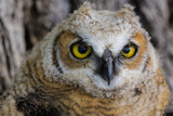 Fledgling Great Horned Owl Portrait in Cottonwood, South Dakota, Usa Photographic Print by Chuck Haney