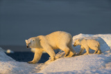 Polar Bear Cub Walking with Mother across Sea Ice Near Harbor Islands,Canada Photographic Print by Paul Souders