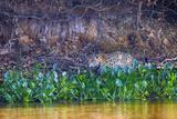 Brazil, Mato Grosso, the Pantanal Rio Cuiaba, Jaguar Among Water Hyacinth Photographic Print by Ellen Goff