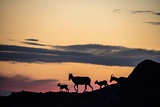 Bighorn Ewes with Lambs Silhouetted Against Sunset Sky in Badlands National Park, South Dakota Photographic Print by Chuck Haney