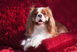 Cavalier Lying on Red Pillow Photographic Print by Zandria Muench Beraldo