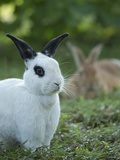Black and White Rex Rabbit with Doe in Background, Oryctolagus Cuniculus Photographic Print by Maresa Pryor