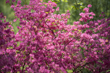 Massachusetts, Boston, Arnold Arboretum, Azalea Photographic Print by Jim Engelbrecht