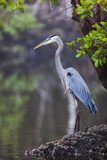 Blue Heron Stalks Fish Taken at Robinson Preserve in Bradenton, Florida Photographic Print by James White