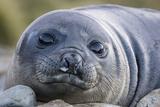 South Georgia Island, Godthul. Close-Up of Juvenile Elephant Seal Photographic Print by Jaynes Gallery