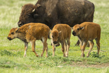 South Dakota, Custer State Park. Bison Calves and Adult Photographic Print by Jaynes Gallery