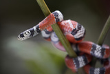 False Coral Snake, Costa Rica, Summer Photographic Print by Tim Fitzharris