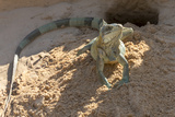 Brazil, Mato Grosso, the Pantanal, Green Iguana Digging Nest Along the River Bank Photographic Print by Ellen Goff