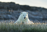 Polar Bear Resting Along Shoreline Near Arctic Circle on Hudson Bay,Canada Photographic Print by Paul Souders