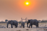 Botswana. Chobe National Park. Savuti. Harvey's Pan. Elephants Drinking at a Water Hole at Sunset Photographic Print by Inger Hogstrom