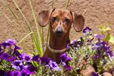 Doxen in Flower Pot Photographic Print by Zandria Muench Beraldo