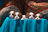 Cavalier Puppies Peeking Out of a Basket Photographic Print by Zandria Muench Beraldo