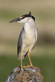 Black-Crowned Night Heron Photographic Print by Ken Archer