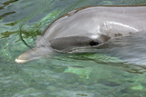 Mexico, Caribbean. Common Bottlenose Dolphin Portrait Photographic Print by David Slater