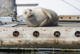 Washington State, Poulsbo. Harbor Seal Winks While Hauled Out on Dock Reproduction photographique par Trish Drury