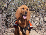 Search and Rescue Bloodhound in Training in the Sonoran Desert Photographic Print by Zandria Muench Beraldo