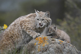 Bobcat Mother with its Kitten, Montana, Usa Photographic Print by Tim Fitzharris