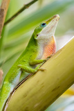 Texas, Sabal Palm Sanctuary. Male Green Anole on Plant Photographic Print by Jaynes Gallery