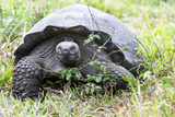 Ecuador, Galapagos Islands, Santa Cruz Highlands, Galapagos Giant Tortoise in the Grass Photographic Print by Ellen Goff