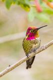 Arizona, Lake Havasu City. Male Anna's Hummingbird Displaying Photographic Print by Jaynes Gallery