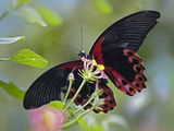 Scarlet Mormon Butterfly, Philippines Photographic Print by Tim Fitzharris
