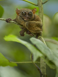 Philippine Tarsier, Bohol, Philippines Photographic Print by Tim Fitzharris