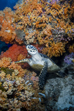 Indonesia, West Papua, Raja Ampat. Hawksbill Sea Turtle and Coral Fotoprint van Jaynes Gallery