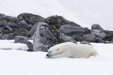 Norway, Svalbard, Polar Bear Making a Day Bed and Resting in It Photographic Print by Ellen Goff