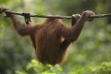 Baby Orangutan, Sabah, Malaysia Photographic Print by Tim Fitzharris