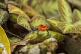 Costa Rica, Sarapiqui River Valley. Blue-Jeans or Strawberry Poison Dart Frog, Singing or Calling Photographic Print by Jaynes Gallery