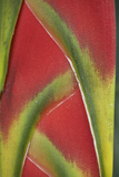 Close-Up of Heliconia, Costa Rica Photographic Print by Tim Fitzharris