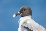 Ecuador, Galapagos Islands, Plaza Sur. Swallow-Tailed Gull Portrait Photographic Print by Ellen Goff