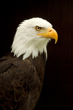 Alaska. Bald Eagle Portrait Photographic Print by David Slater