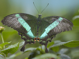 Emerald Swallowtail Butterfly, Philippines Photographic Print by Tim Fitzharris