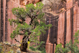 Utah, Capitol Reef National Park. Juniper Tree and a Cliff Streaked with Desert Varnish Photographic Print by Jaynes Gallery