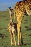 Giraffe Calf Standing Next to its Mother, Kenya, Africa Fotografisk tryk af Tim Fitzharris